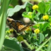 Manion Corners Butterfly Count