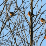 Carleton Place Christmas Bird Count: the more the merrier, counting birds!