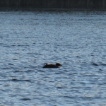 Stretching chick, loons on Clayton & Taylor Lake
