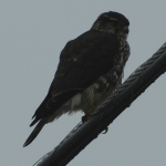 Carleton Place Christmas Bird Count Results