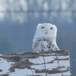 Snowy Owl sighting in Mississippi Mills