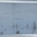 Early spring sightings: hooded mergansers on the Mississippi; swans at Fallbrook