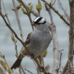 White-crowned Sparrows and other beauties in Sheridan Rapids