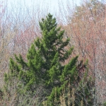 A Visual Tour of Some Notable Native Trees of Eastern Ontario - Nature Talk Feb 18th