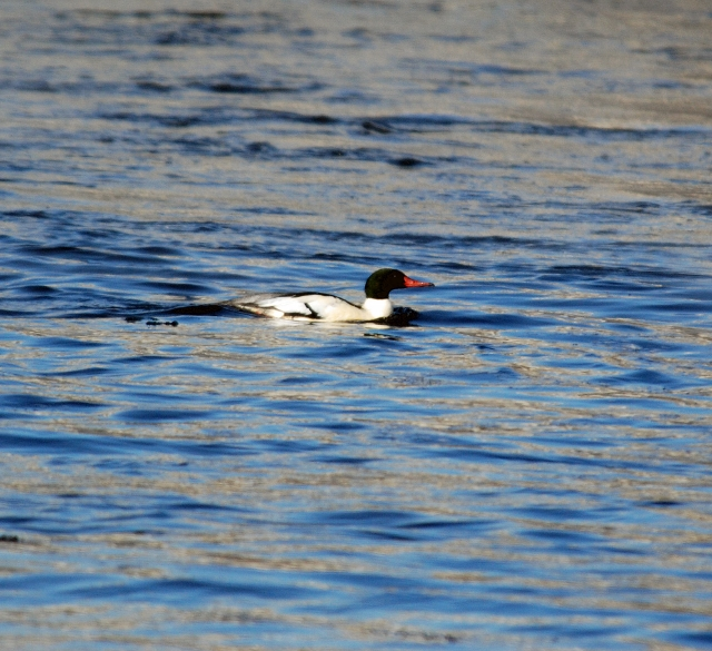 Common Merganser Almonte (640x585)
