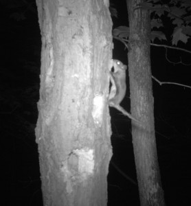 Flying Squirrels Photo 1