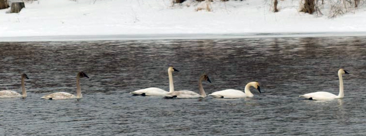 Iains Trumpeter swans