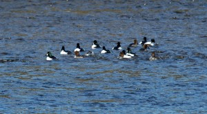 iana Common Goldeneye