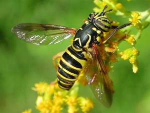 wasp mimic sherratt lecture (640x480)