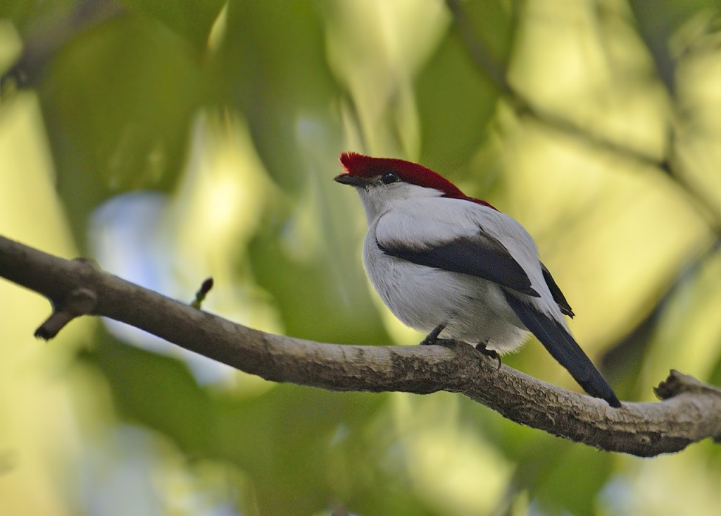 araripe Manakin photo Knudsen