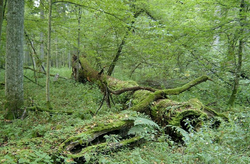 forest with coarse woody debris Keddy (800x525)