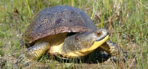 h_Crowley-Blanding's-Turtle