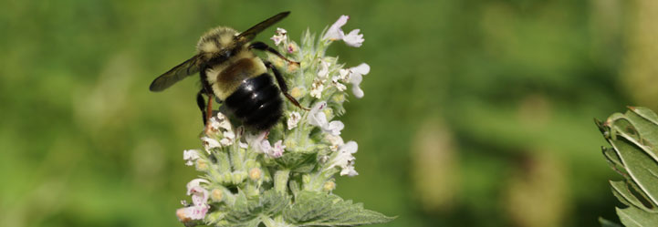 Rusty-patched bumblebee. Photo Ontario Nature