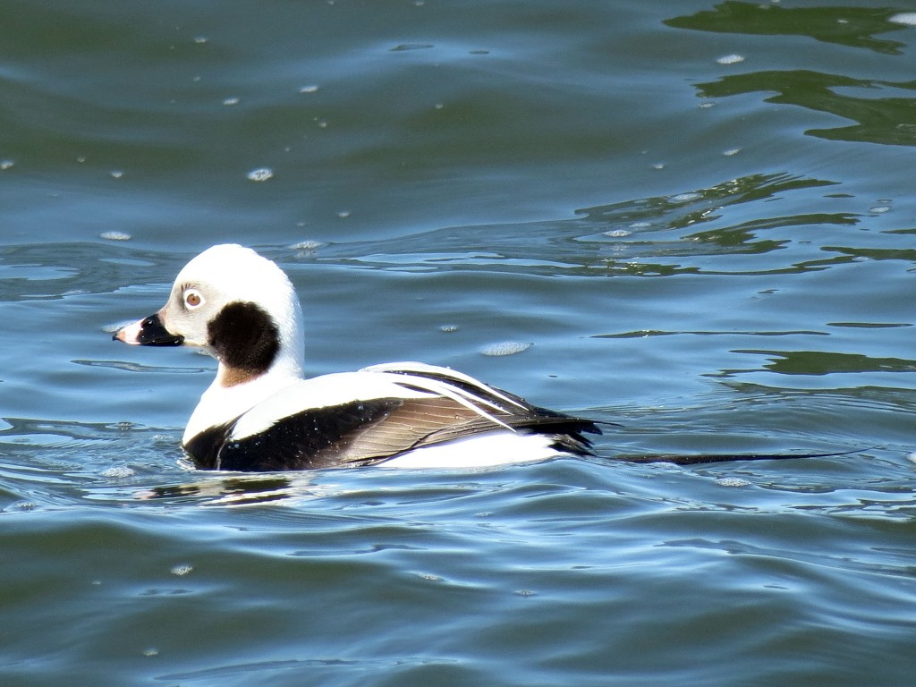 Long-tailed duck. Photo Peter Blancher