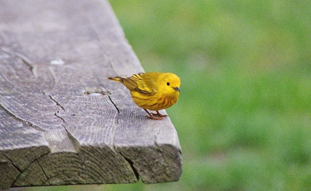 Yellow Warbler. Photo Susan Wilkes