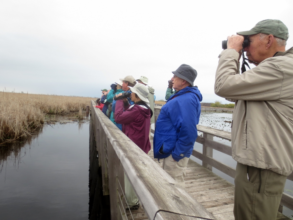 A trilling Marsh Wren caught everyone's attention along the Marsh Boardwalk.  Point Pelee National Park.  photo by Neil Carleton