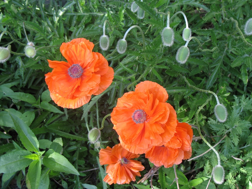 Poppies photo Donaldson