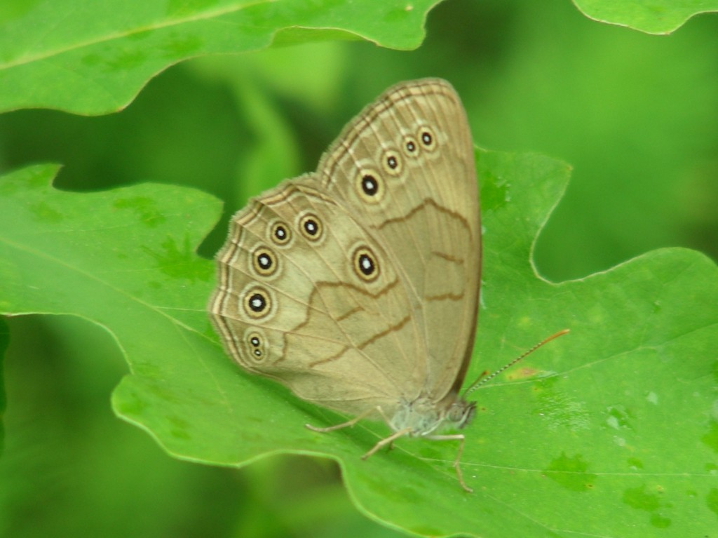 Appalachian Brown photo 1