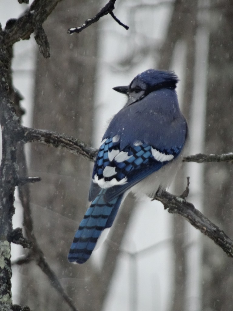 A Blue Jay photographed during the Christmas bird count week and plentiful on count day during the Carleton Place Christmas bird count. Photo by Ken Allison
