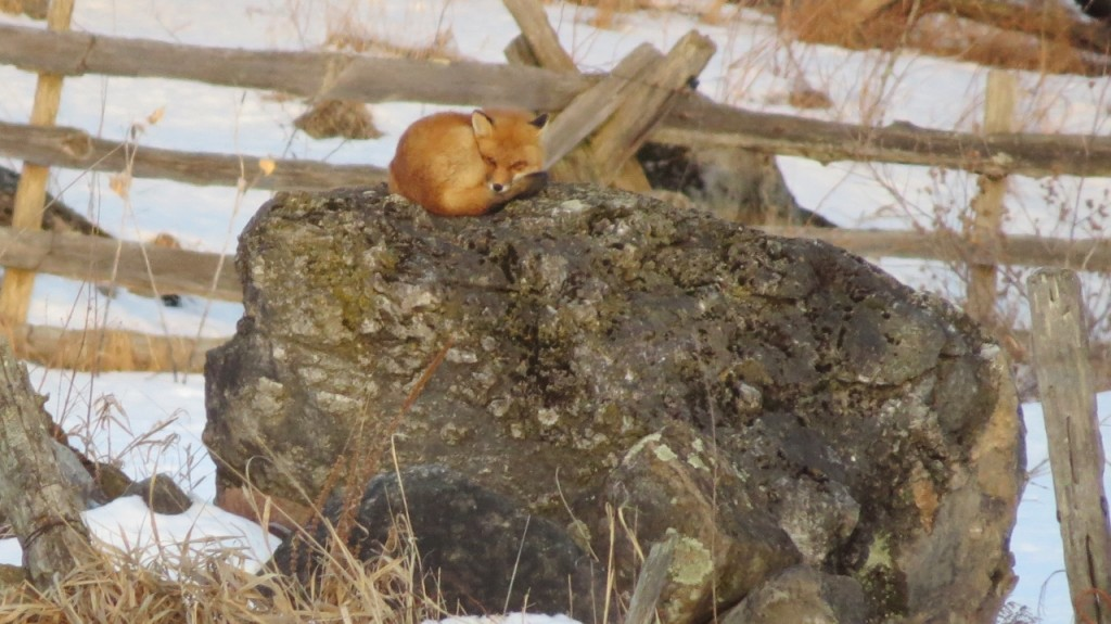 FOX ON A ROCK 2 FEB 22 2016 (1280x719)