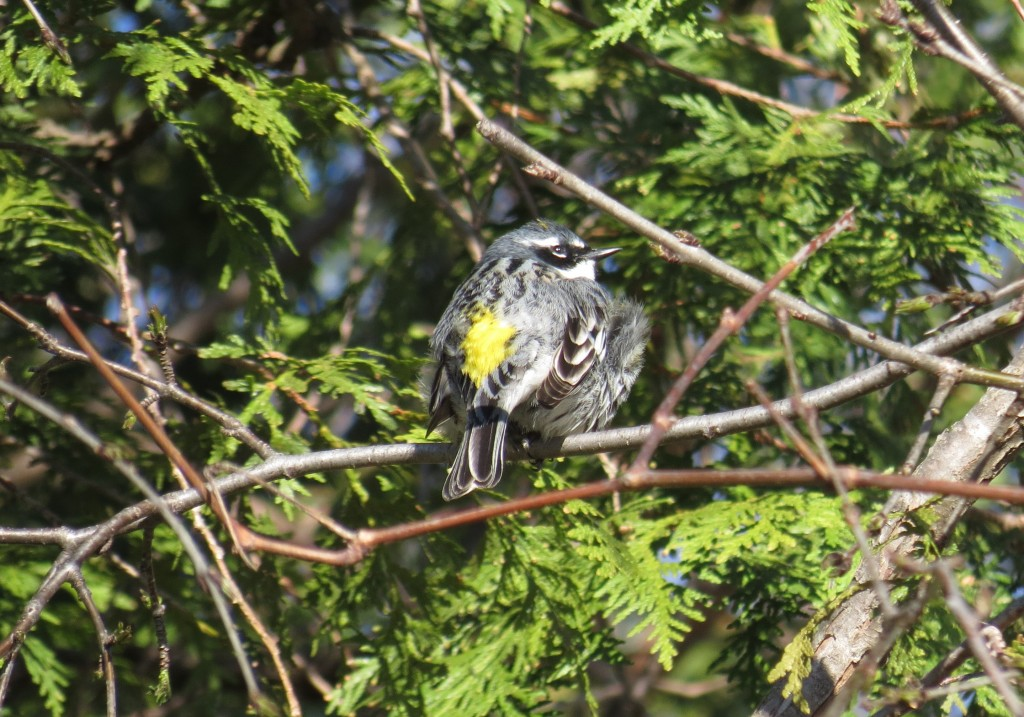 Yellow-rumped warbler, Robinson