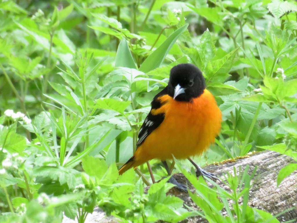 Baltimore Oriole. Photo Howard Robinson