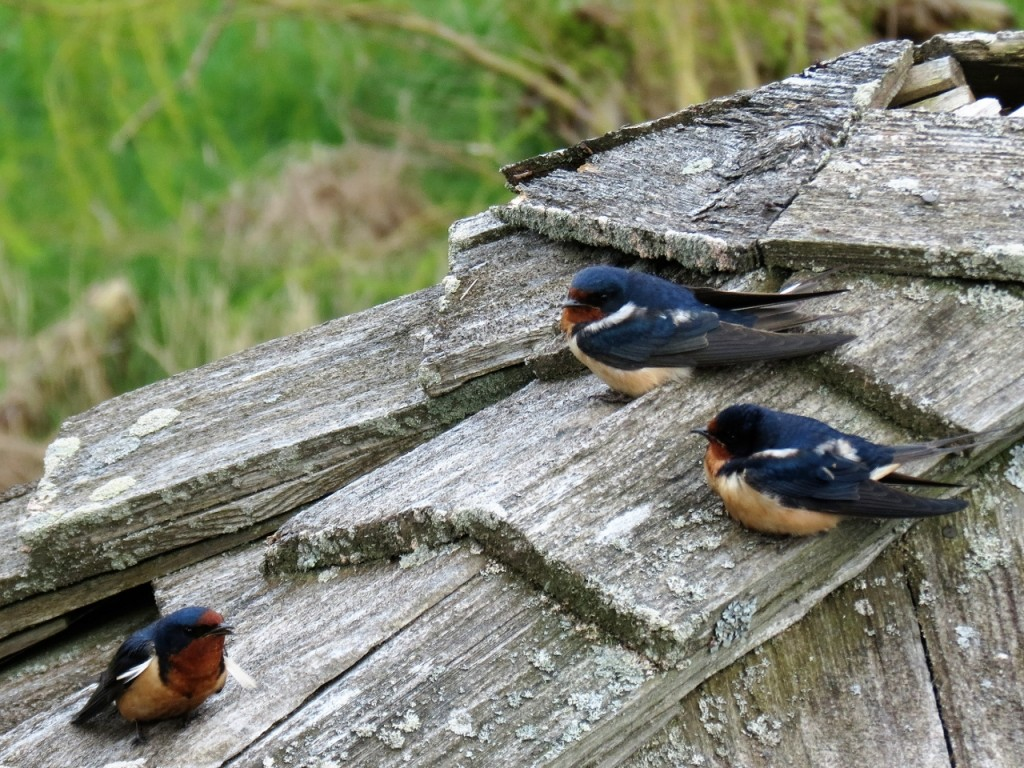 Barn Swallows. photo Howard Robinson