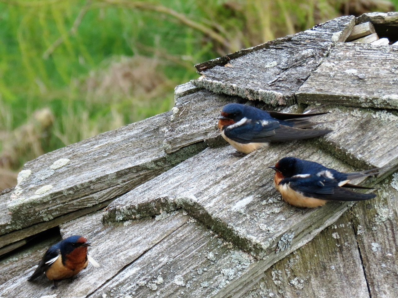 Barn Swallows Robinson - Mississippi Valley Field Naturalists