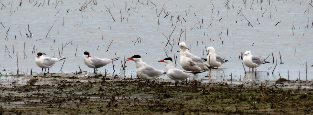Caspian Terns, Ring billedGulls, Dunlin. photo Howard Robinson