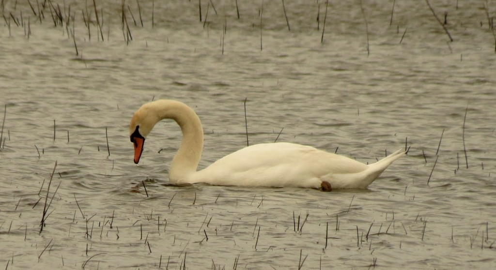 Mute Swan, Hillman Marsh photo Peter Blancher