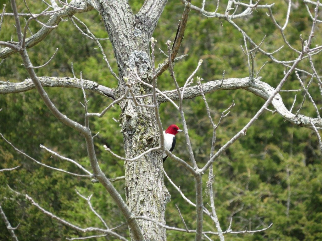 Red-headed Woodpecker, Cactus Field, photo Peter Anderson
