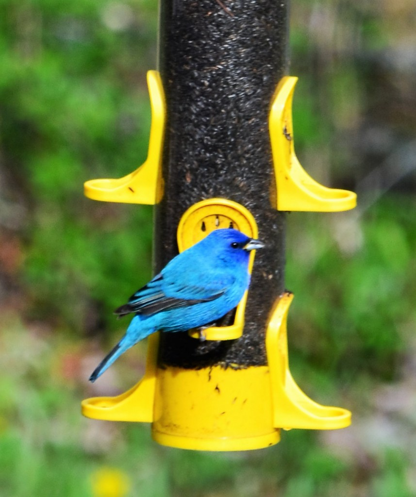 indigo bunting heather ebbs