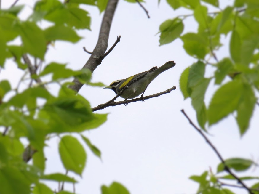Golden-winged Warbler, Canoe Lake Road. photo Howard Robinson
