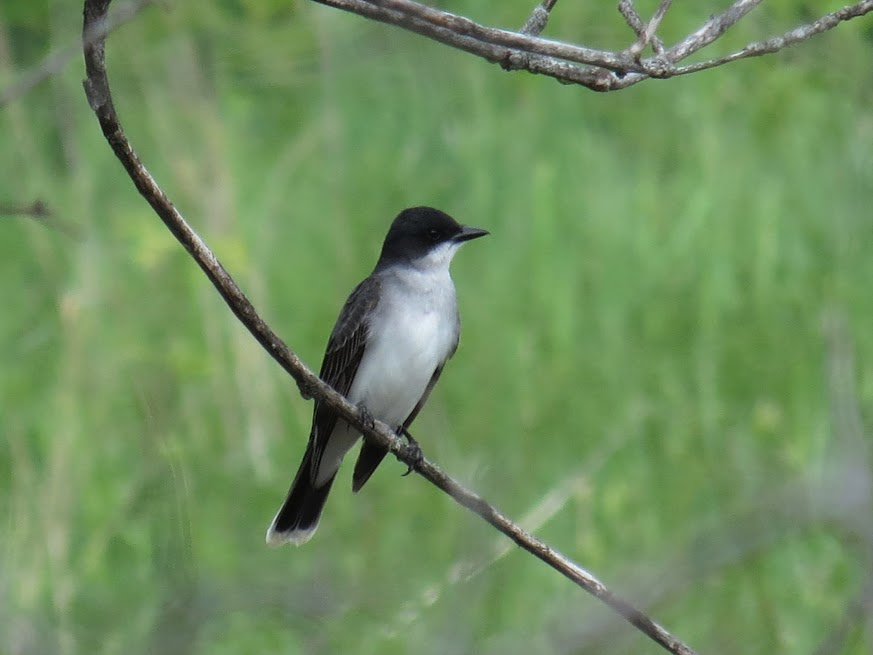 Eastern Kingbird, Porter Road. photo Howard Robinson