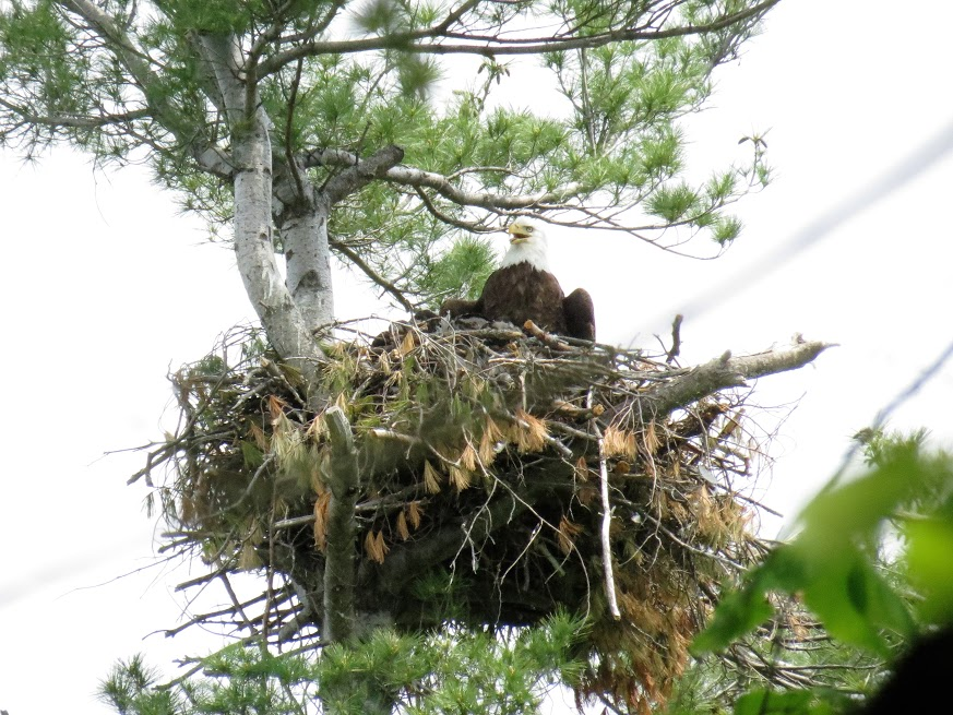Nesting Bald Eagle. photo Howard Robinson