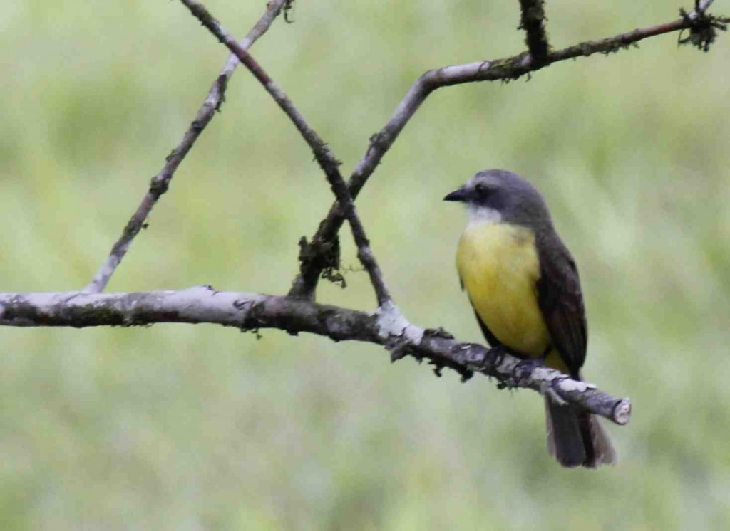 Grey Capped Flycatcher