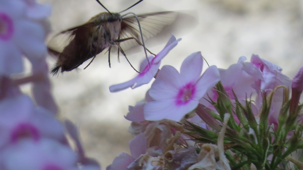 HUMMINGBIRD MOTH 3 AUG 10 2016 (1280x719)