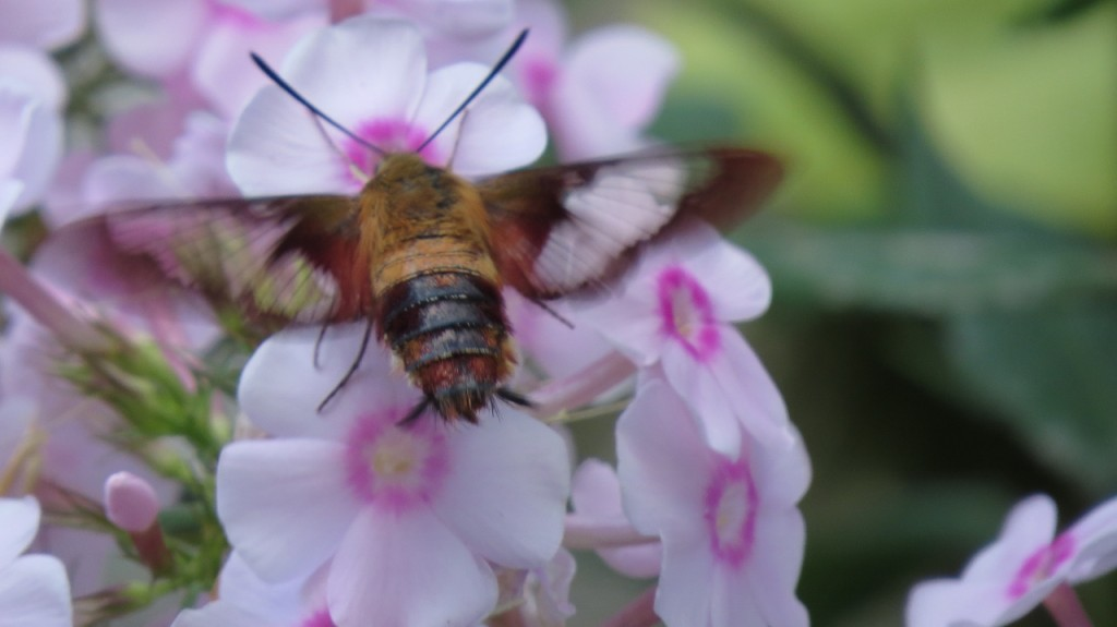Hummingbird Moth. photo Nat Capitano