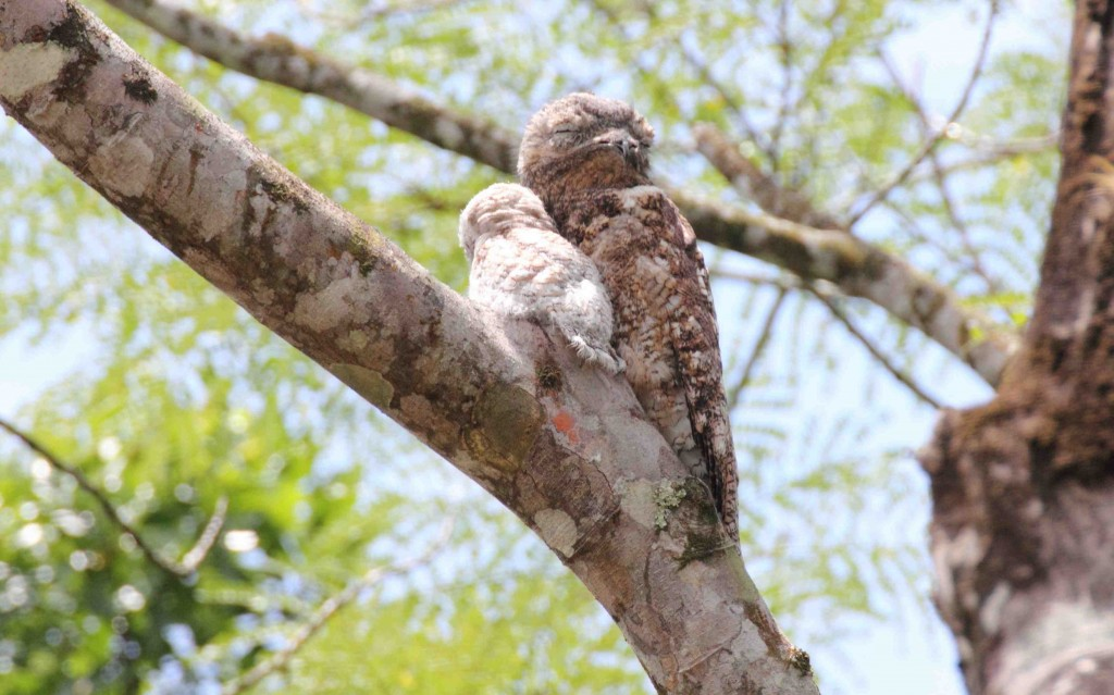 Great Potoo and baby. photo Rick Muise