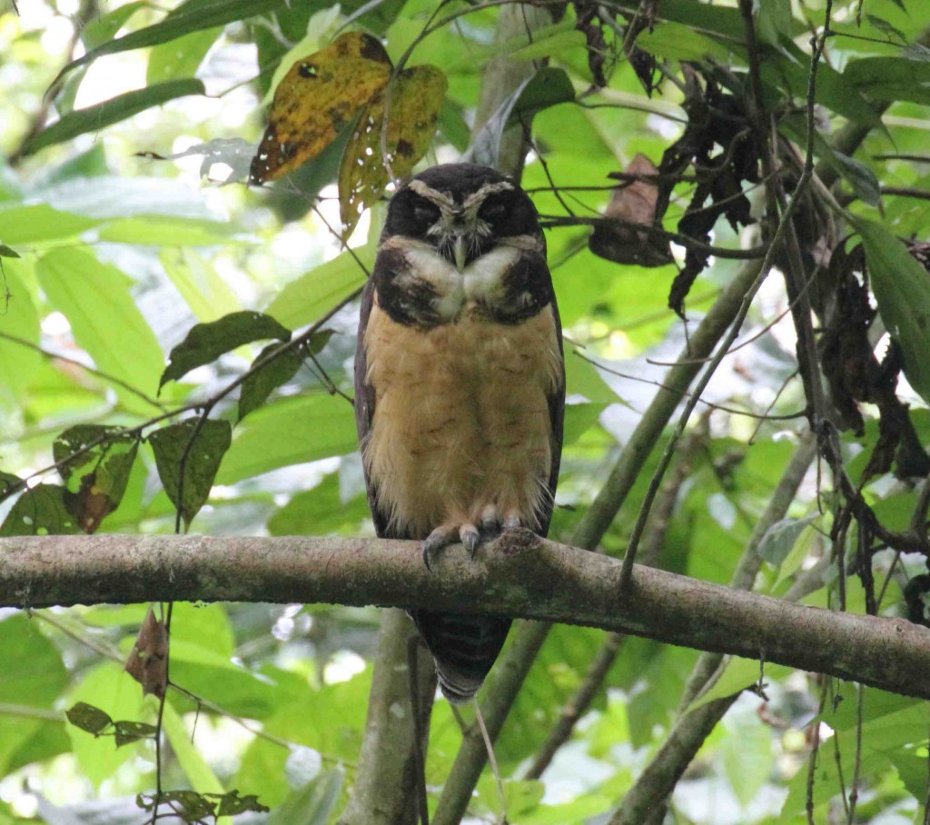 Spectacled Owl photo Rick Muise