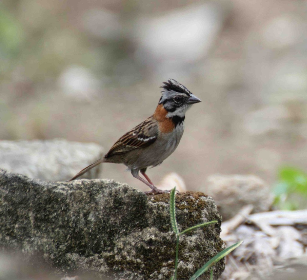 Chestnut Collared Sparrow. photo Rick Muise