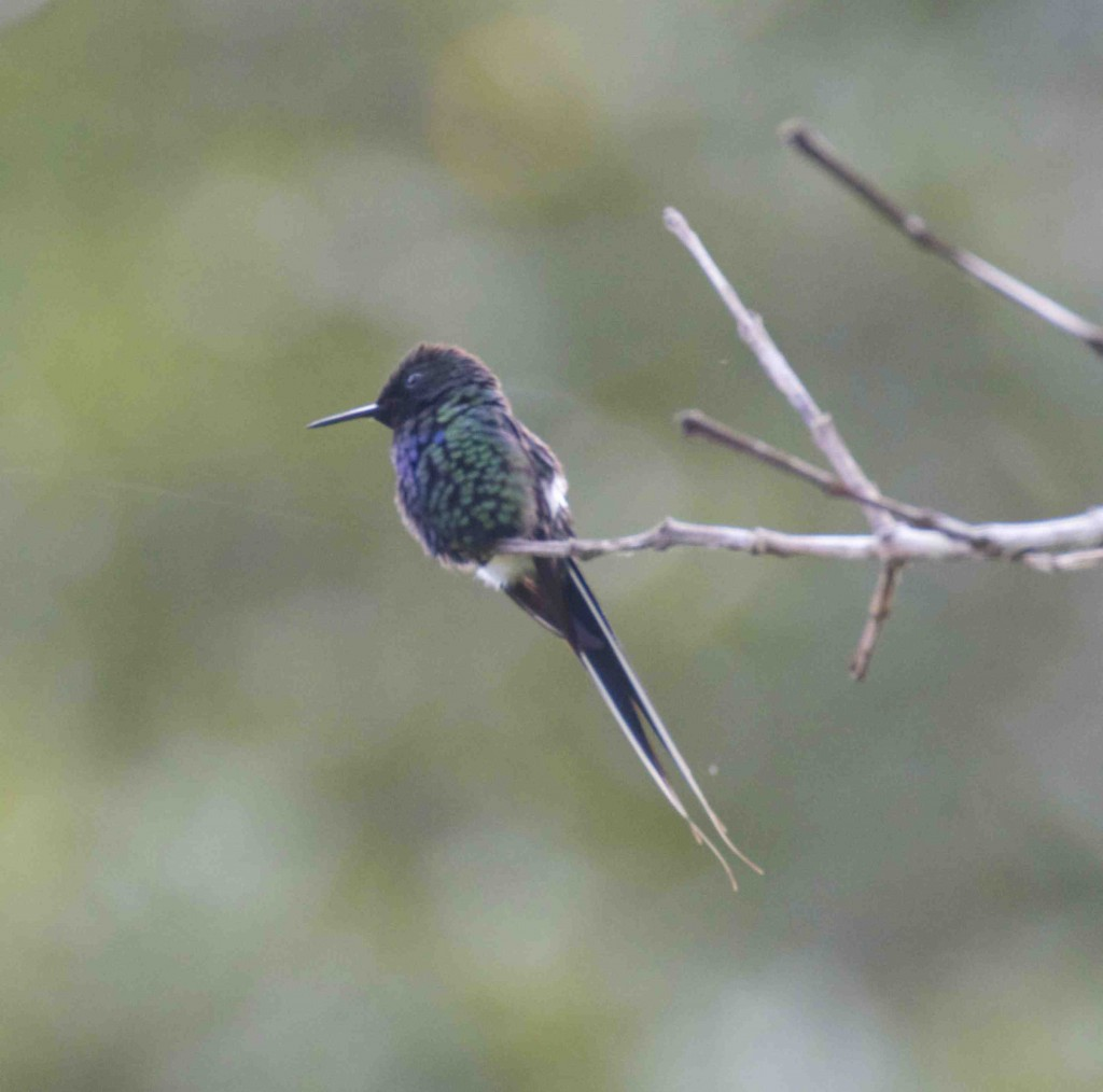 Green Thorntail. photo Rick Muise
