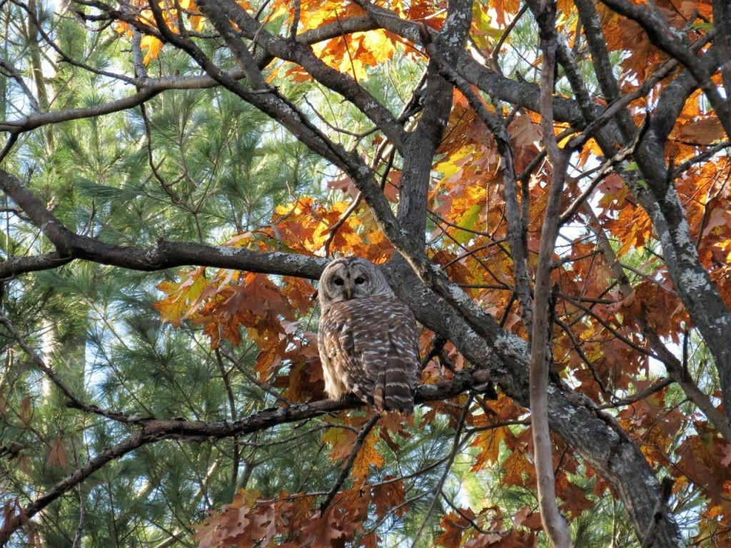 Barred Owl. photos Howard Robinson