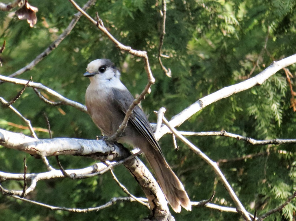 Gray Jays. photo Howard Robinson