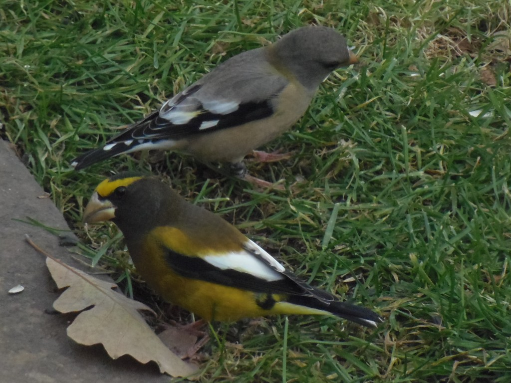 Male and female Evening Grosbeak. photo Lise Balthazar