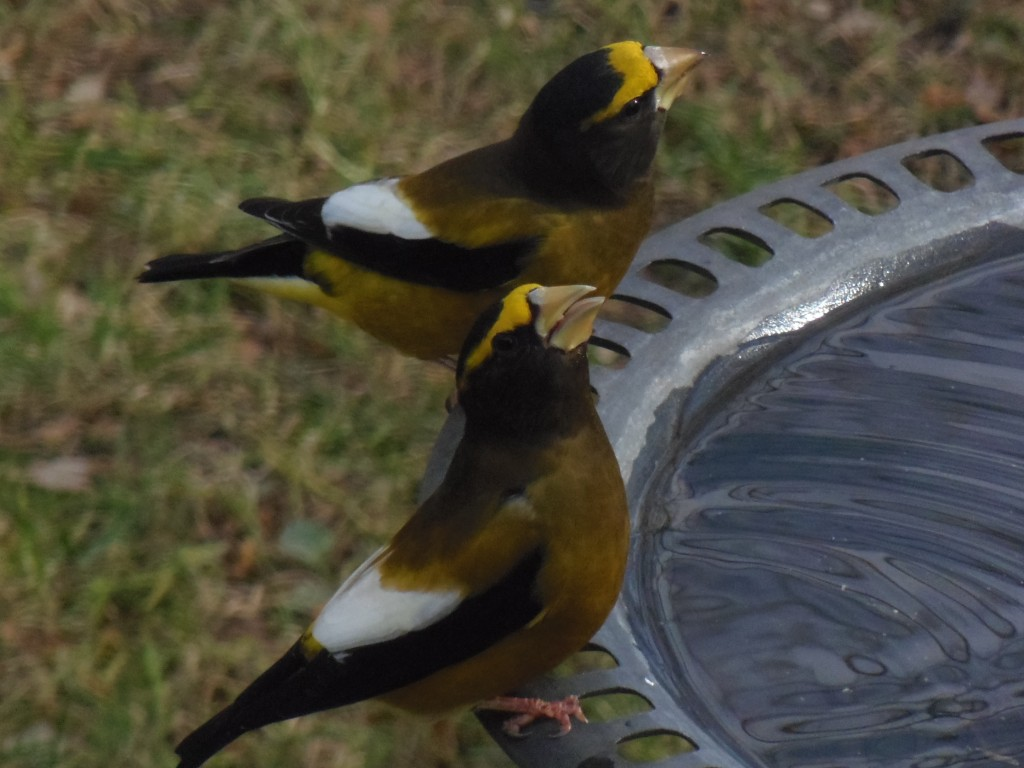 Male Evening Grosbeaks. photo Lise Balthazar