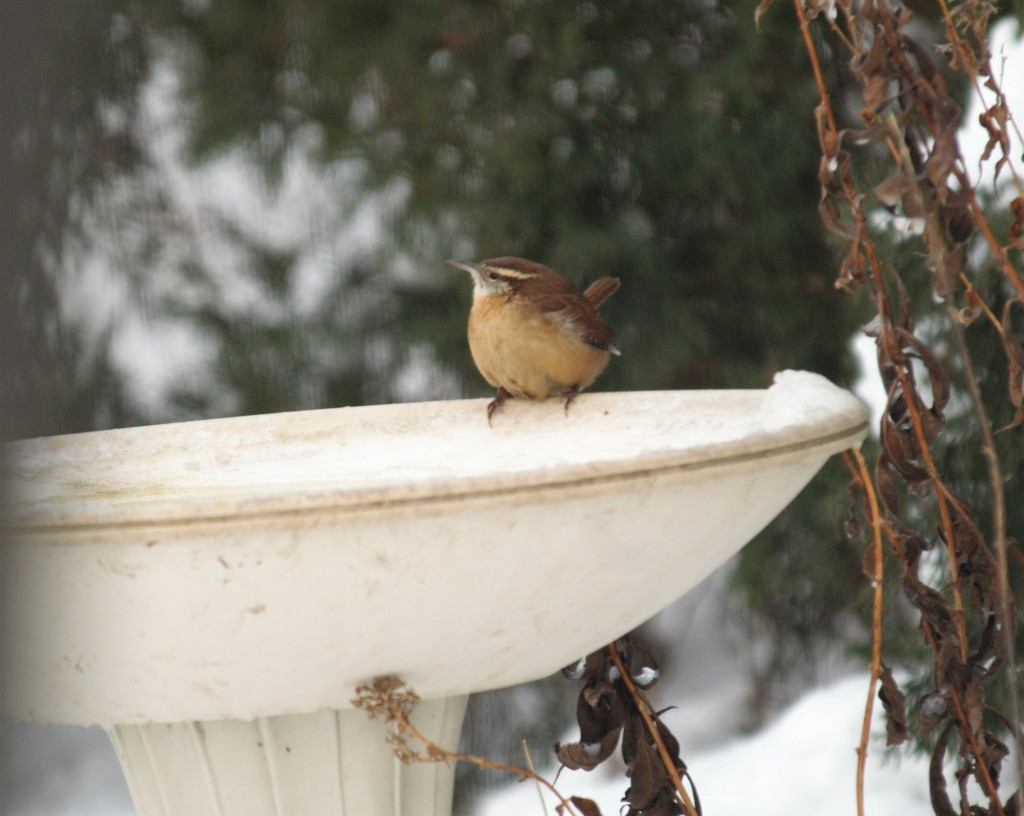 Carolina Wren. photo Susan Wilkes