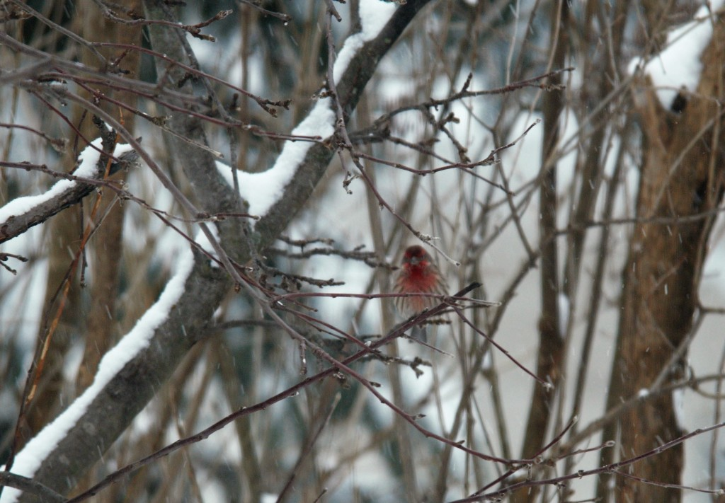 House Finch. photo Susan Wilkes