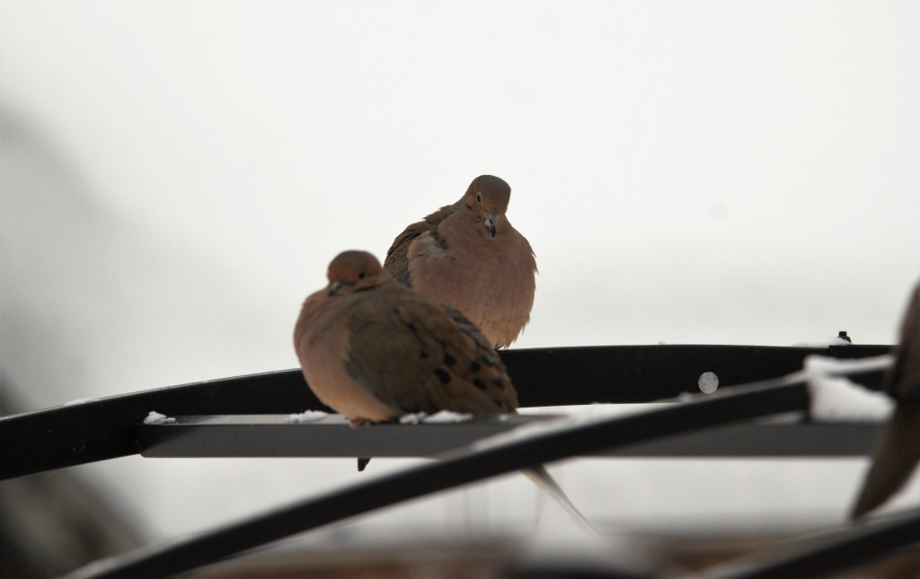 Mourning Doves. photo Susan Wilkes
