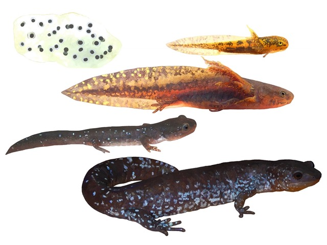 Illustration by Peter Mills, author or Metamorphosis: Ontario's Amphibians at all Stages of Development